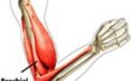 Brachial antérieur
