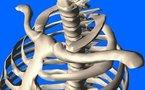 L'articulation sterno-claviculaire