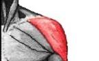 L'insertion distale du deltoïde